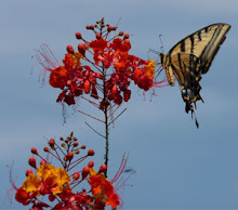 Swallowtail on Pride of Barbados