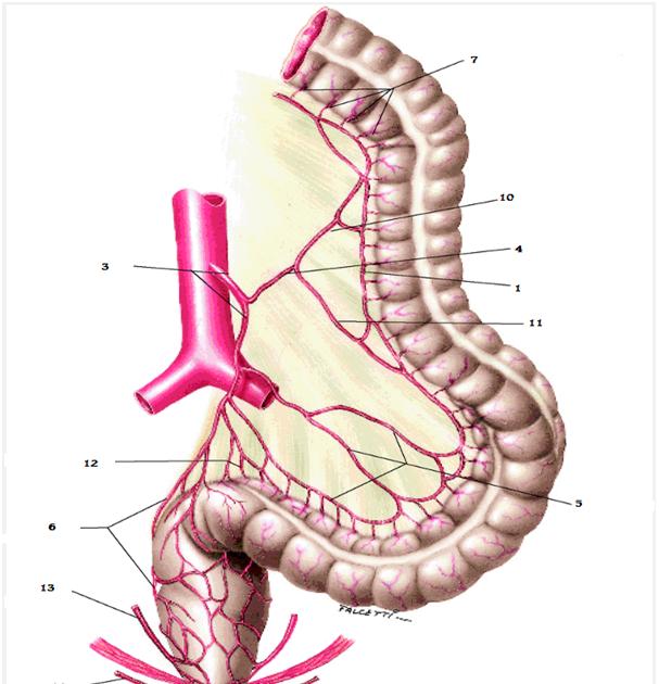 esplacnología: Arteria mesentérica inferior.