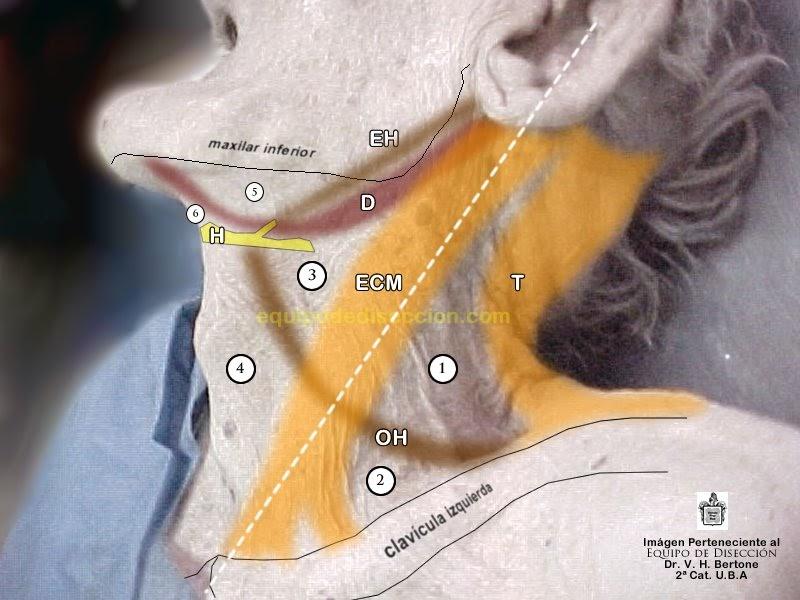 esplacnología: Triángulos del Cuello - Límites