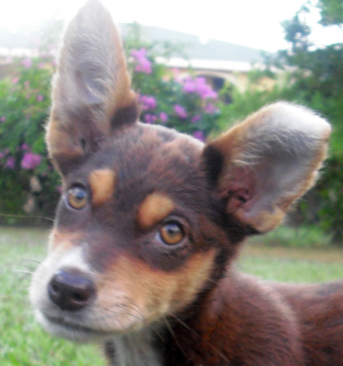 Cricket the Athletic Kelpie Puppy Adopted