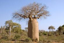 Rindu mu di ujung ranting pohon baobab