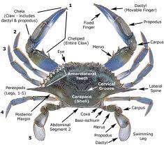 Fiddler crab eggs hatching