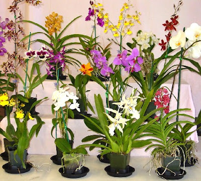 ORCHID PLANTS