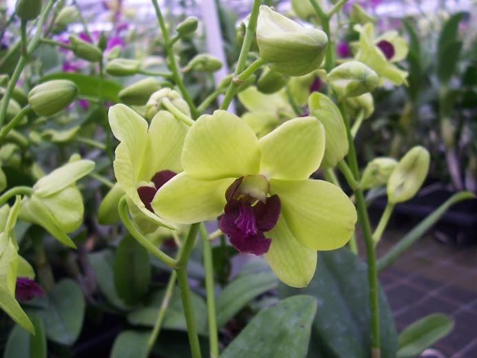 Dendrobium Burana Greenstar