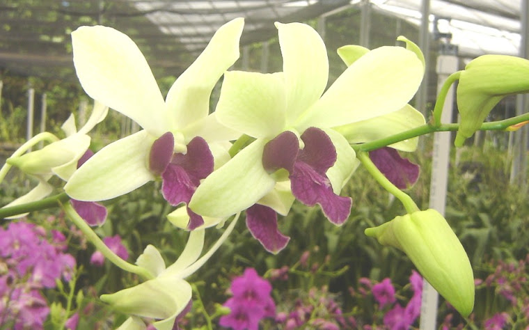 Dendrobium Woo Leng