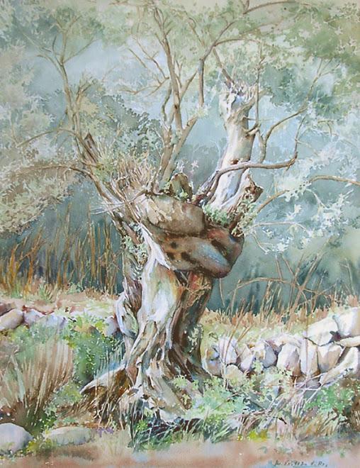 olivo de mallorca