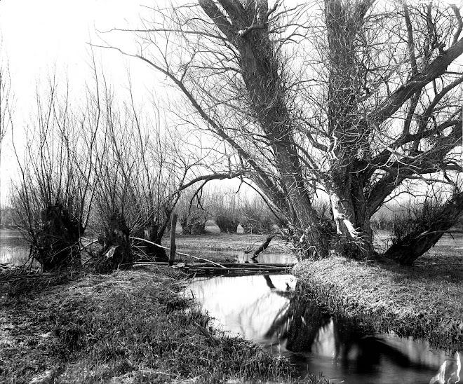 coppiced willows