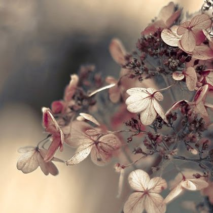 Hydrangea+Blushing+fine+art+flower+photo