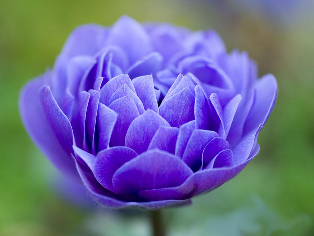 http://2.bp.blogspot.com/_cUuIMoP_aeE/TQN406oj6PI/AAAAAAAACyM/GSK8ATkN0Eo/s1600/blue-flower-wallpaper.jpg