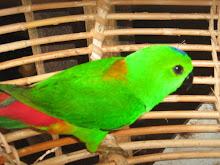 Burung CERUIT
