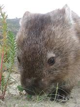 wombat!!!