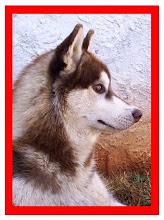 Verkoiansk's Fergus King Wolf Blaser