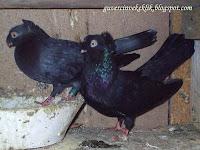 Taklacı güvercin resimleri
