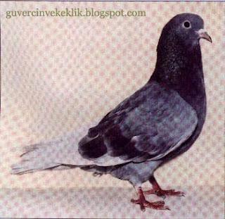Kumru güvercini