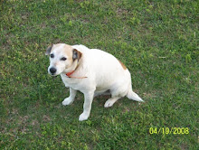 SPUNKY - Our Jack Russell Terrier