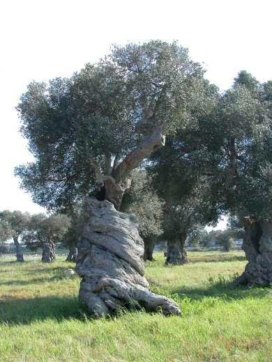 Nel mondo di krilu 39 ulivo albero della pace for Alberi in vendita