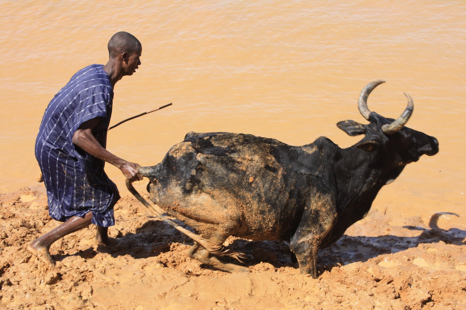Vroegin Benin, and now Mali: Cattle Crossing the Niger River at ...
