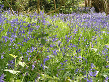 wild English bluebells