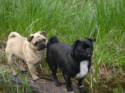 Pugs Dogs Puppies