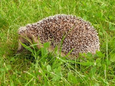Un petit h risson habite dans mon jardin for Entretien jardin locataire