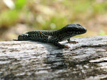 Lizard on a log