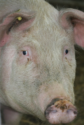 pilisvorosvar-daily-photo-pig