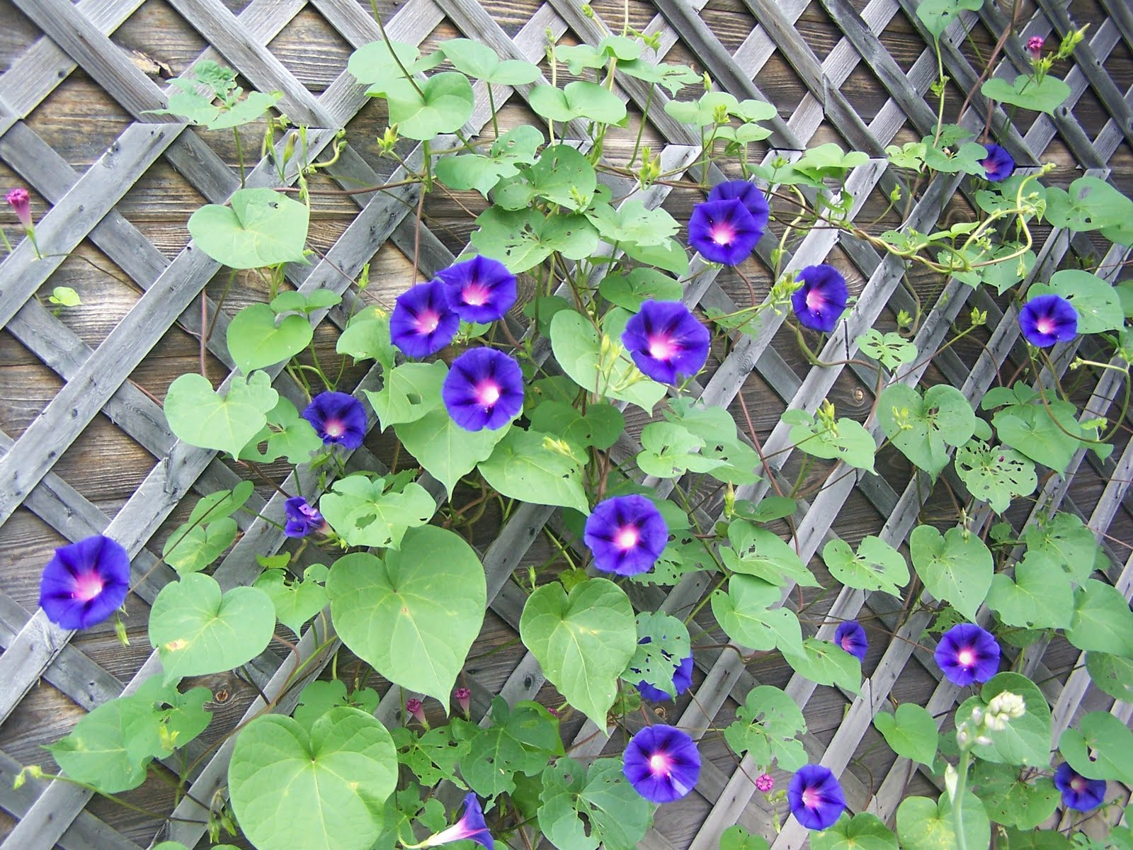 Morning glory flower coloring pages - Good Morning Glories