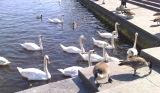 Swans on the river - they were hungry