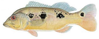 Fish Index: Butterfly Peacock Bass (Cichla ocellaris)