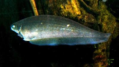 Fish Index: Black African Knifefish (Xenomystus nigri)