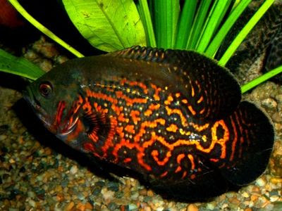 Fish Index Tiger Oscar Fish Astronotus Ocellatus