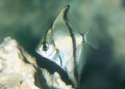 the mono sebae or monodactylus sebae is a diamond shaped aquarium fish ...