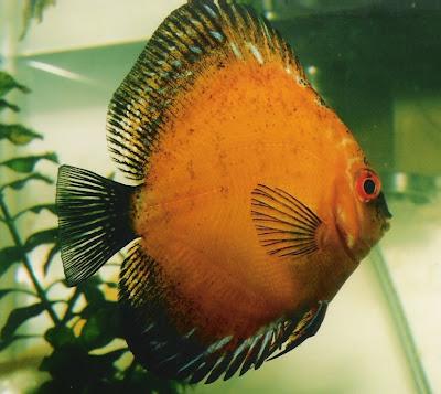 Foto Gambar Ikan Hias Cantik dan Indah - 2012 Terbaru |