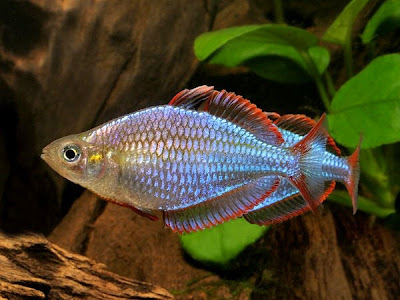 Fish index praecox rainbow melanotaenia praecox for Dwarf rainbow fish