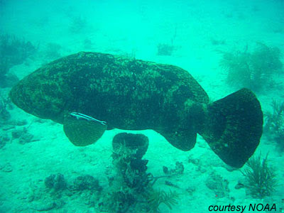 pacific goliath grouper  waters around coral reefs normally
