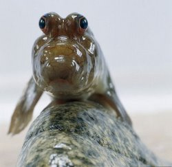 Mudskipper Fish - Evolutionary Marvel