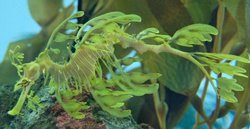 Weird Fish Of The Month - Leafy Sea Dragon