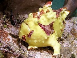 Frog Fish - The Strangest Fish In The World