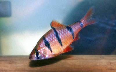 Fish Index: Hexazon Barb (Puntius pentazona)