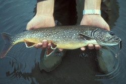 Lake Trout