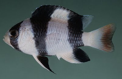 Fish index tuxedo damselfish chrysiptera tricincta for Black and white striped fish freshwater