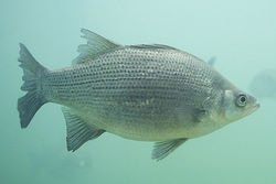 White Bass