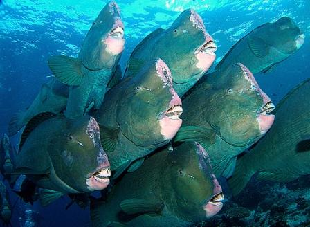 the green humphead parrotfish or bolbometopon muricatum is the largest    Humphead Fish