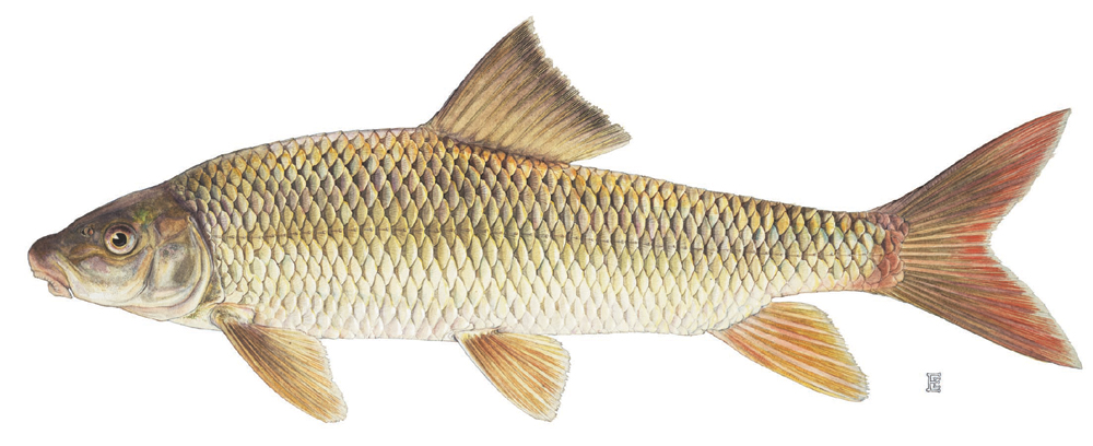Fish index shorthead redhorse moxostoma macrolepidotum for Freshwater sucker fish