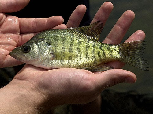 Fish index white crappie pomoxis annularis for Crappie fish facts