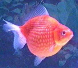 IWAKE NESTA BROW: Ikan Hias dan Bibit Ikan Konsumsi