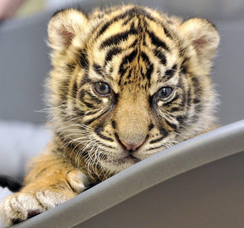 Baby Tiger Crop