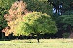 L'arbre généalogique des Cerisiers de l'Aube