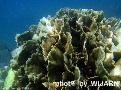 ปะการังฟอกขาว - Coral bleaching