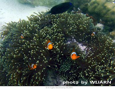 ปะการัง : เกาะหลีเป๊ะ